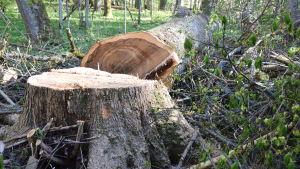 Ett träd har fällts invid en träbyggnad. Det är på Ramsholmens naturskyddsområde invid danspaviljongen.