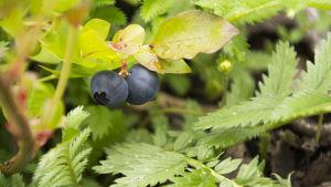 Amerikanska blåbär i klockarparken i Lappträsk