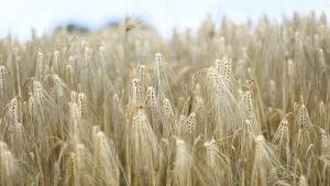 Bild med kort skärpedjup av kornfält.