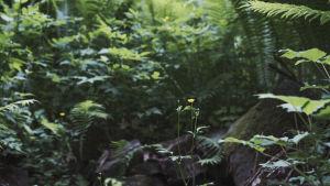 Keltainen kukka, taustalla vihreää kasvillisuutta ja saniaisia