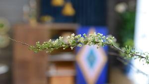 En kvist av busken brudspirea med vita blomknoppar och nyutslagna blommor.