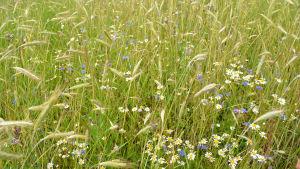 En närbild på ängsaktig mark, man ser blåa blåklintar, baldersbrå, råg och så vidare.