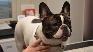 Linda Neemres franska bulldogg Pilvi.