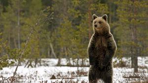 Karhu seisomassa lumihangessa