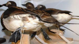 Kolme lintua kuivaushuoneessa.