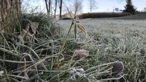 gräs som är fruset
