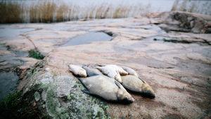 Kaloja kalliolla.
