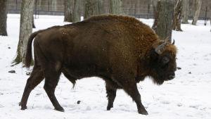 Den vilda visenten utrotades i början av 1900-talet. Visenterna i Białowieżaskogen är avkomma till tolv visenter som överlevde i fångenskap.