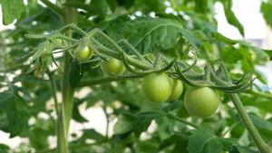 närbild på en tomatplanta med gröna små tomater. Inne i växthus.