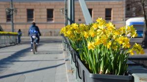 Narcisser på Teaterbron i Åbo.