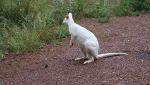 Den vita kängurun Willy Wonka står på en grusstig och tittar bort från kameran.