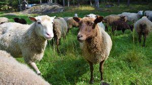 Får och lamm på Bovik gård i Snappertuna, Ekenäs.