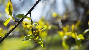 puiden lehdet hiirenkorvalla