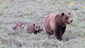 Björnhona med ungar