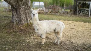 En vit alpacka som heter Bruno.