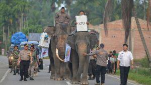 Indonesier transporterar valurnor på elefanter.