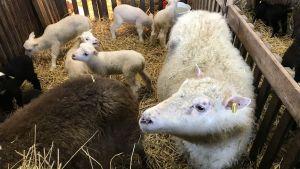 Två får och fem lamm.