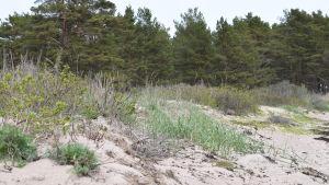 En strand i Hangö med sandväxter , sanddyner, lågväxande martallar.