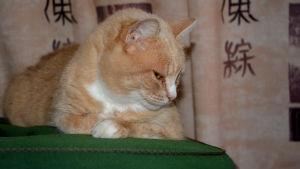 Katten Rosita ligger på en grön kudde.