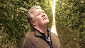 En man iklädd en fleecetröja står inne i ett växthus och blickar upp mot tomatplantor.
