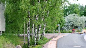 Gröna björkar intill en cykelväg.