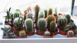 Många små kaktusväxter