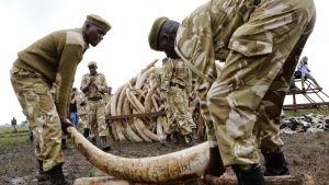 elefantbetar bränns i Kenya