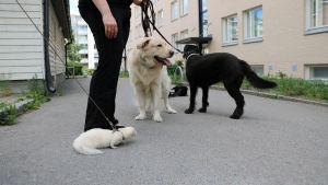 På bilden ser man två stora hundar och en tamiller i koppel.