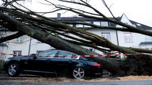 Ett träd har fallit på en bil och mosat den.