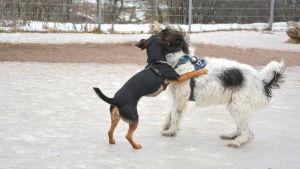Hundar i Nummisstrandens hundpark.
