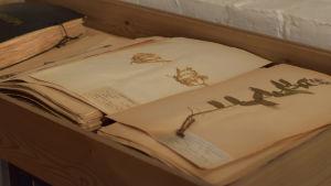 En bok med pressade växter, ett herbarium. Bladen i boken har gulnat pga ålder. Finns uppslagen i Hangö museum.