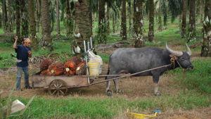 En man står bakom en kärra som dras av en vattenbuffel.