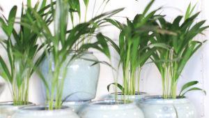 Flera små palmväxter