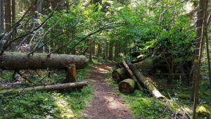 Träd som röjts undan så man kommer fram på friluftsleden i Karkali naturreservat.