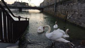Fåglar vid vattendrag i Geneve