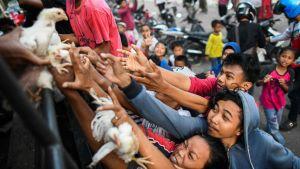 Polisen delar ut levande hönor till jordbävningsdrabbade i Palu.
