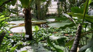 Den tropiska dammen i växthuset.