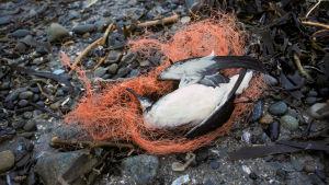 lintu kuollut muoviin