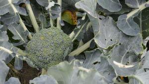 Närbild på en broccoliplanta.