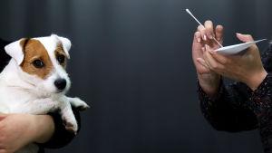 Koiralta otetaan geenitestiä vanupuikolla.
