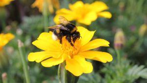 En humla letar nektar mitt i en gul blomma.