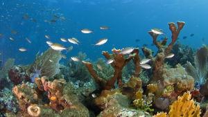 Färggranna koraller i ett korallrev