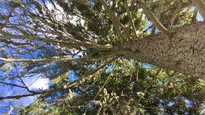 Stora träd i en skog.