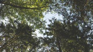 Jos makaa metsässä maassa ja katsoo taivaalle, näkee tämän, eli puiden lehviä ja taivasta.