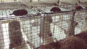Minkar i bur