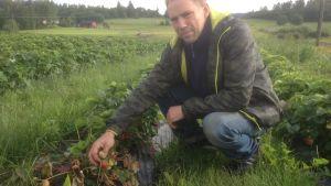 Vätan förstör jordgubbsskörden