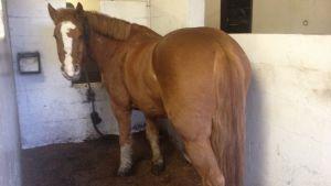 Allt fler hästar är feta.