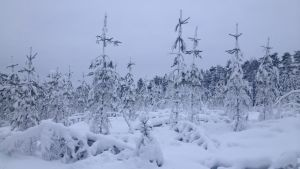 Snön trycker ner träd i Pedersöre