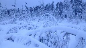 Snön trycker ner träd.