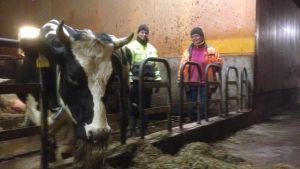 Kon äter medan Crista Hällfors och Henrika Husberg beundrar